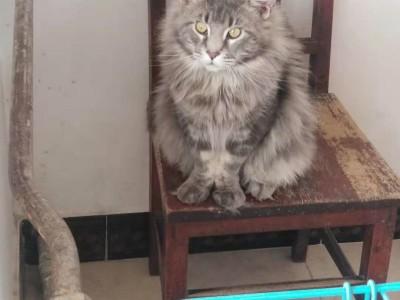 缅因猫银灰虎斑