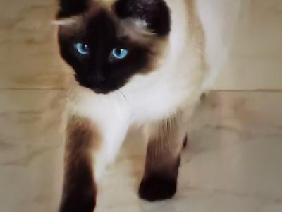 陕西  家养纯种重点色布偶猫