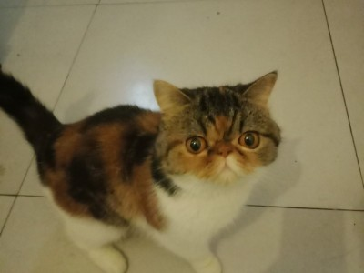 加菲猫,疫苗齐全,自养半年