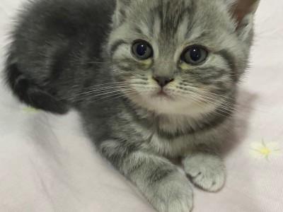 蓝猫宝宝,健康活泼,限北京自取