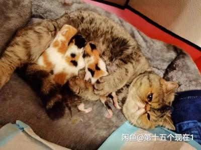 满月小加菲,自家繁殖加菲,猫妈妈是虎斑,猫爸爸是橘白