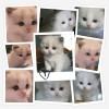北京自家养布偶猫