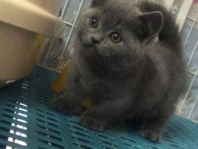 北京通州区,纯蓝矮腿蓝猫,两个月大