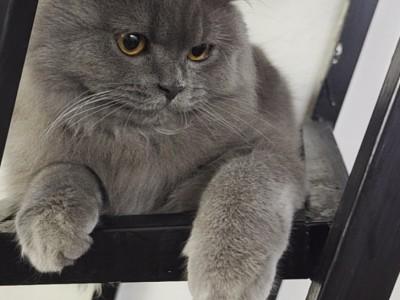 英短蓝猫弟弟,九个月左右