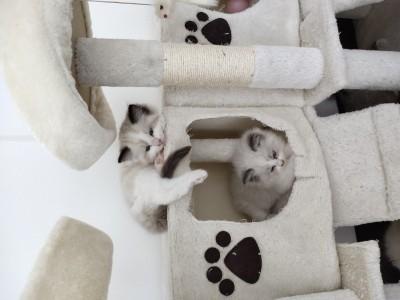 自家布偶猫生的布偶猫