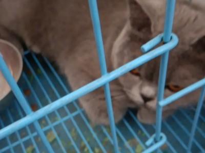 蓝猫,1700,纯种