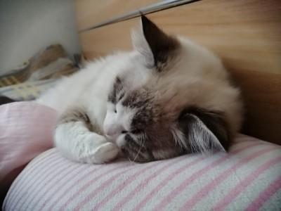 优质布偶猫,疫苗已打,样子可爱性格好,年龄半年
