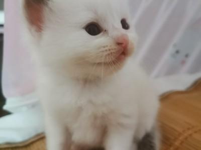 当家人养的布偶生了四只小猫接受预订