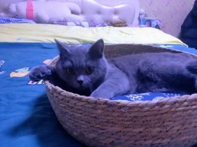 蓝猫 去年买的  养了一年   现在家中有人怀孕   想出售