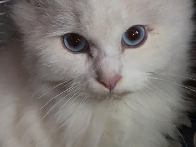狮子猫、白毛、褐色耳朵尾巴、海蓝眼睛粘人不爱叫
