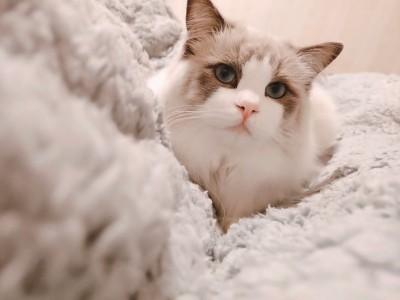 布偶猫(蓝手套和蓝双,价格可谈,7月可接,接预定)