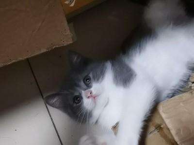 湖南英国短毛猫两个多月,无应激反应,爱蹦爱跳