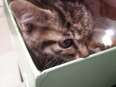 两个月的小狸花猫