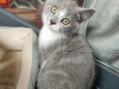 自家宠物猫生的小猫英短蓝白