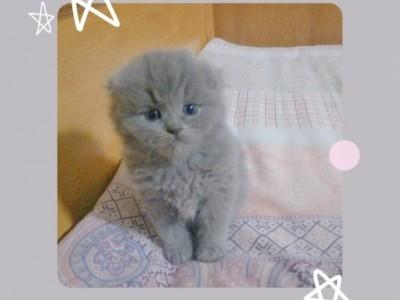 可爱小蓝猫 有长毛短毛折耳立耳