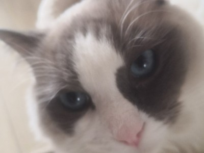 纯种,眼蓝色布偶猫