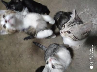 山东济南英短美短可爱小猫