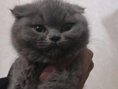 英短蓝猫淘气健康