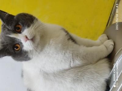 青岛英国短毛猫,已绝育 送全套猫咪用品