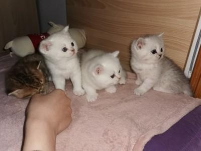 河南省驻马店市,自家繁育的猫咪,价格优惠,保证健康。