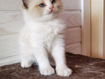 家养布偶猫,猫咪3000到5500品相自观