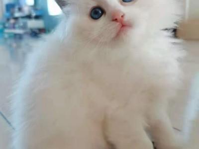 自家繁育布偶猫 幼体