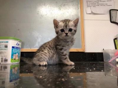 无锡市梁溪区16楼的猫代售猫咪纯种虎斑银虎斑
