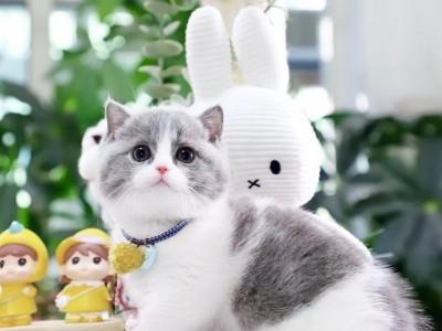宠物猫舍出售金吉拉、渐层、布偶、蓝白、英短、蓝猫等品种猫咪