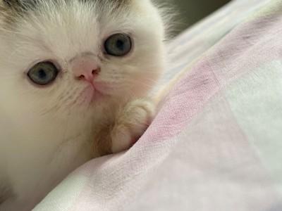 自家养的加菲猫