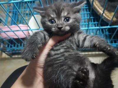 广西南宁市英短蓝猫