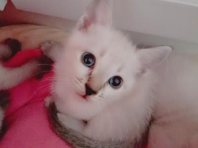 杭州市 虎斑暹罗 小猫1000元/只