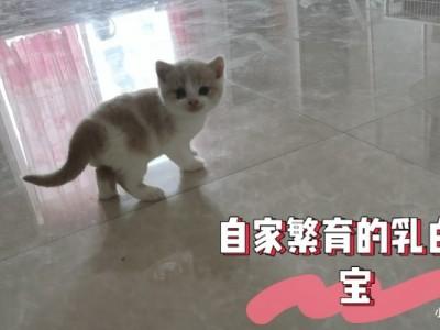 丹东市自家繁育乳白,蓝白,起司,蓝猫