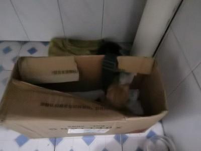 小橘猫,不到一个月,会自己用猫砂。安静