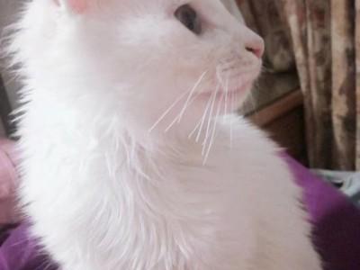 南京  找领养  纯白猫  11个月大  疫苗均已打过