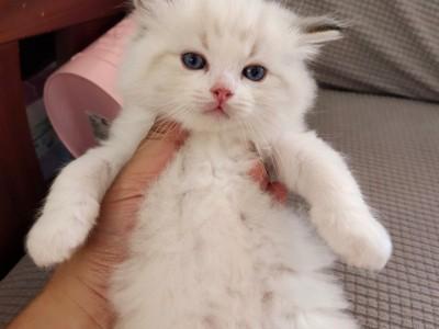 纯种布偶猫