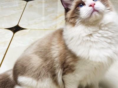 山东济南布偶猫仔接受预定