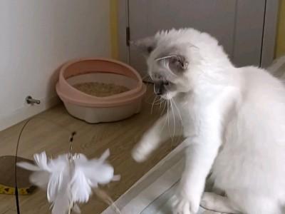 价格实惠,布偶猫双色