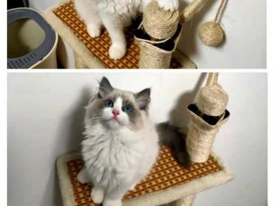 自家繁育纯种超甜完美布偶猫 五粉 公母均有 可视频挑选