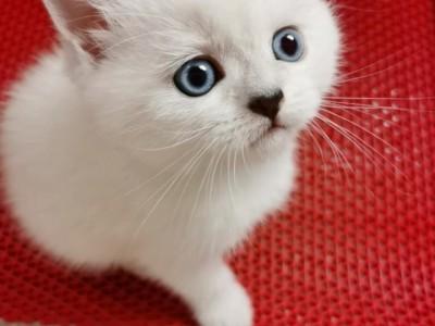 锦州市,银点弟弟,包子脸,会用猫砂,能吃猫粮,健康无癣