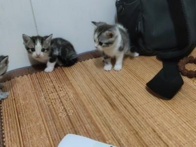 猫爸是英短 猫妈是美短 幼猫身体健康 快两个月