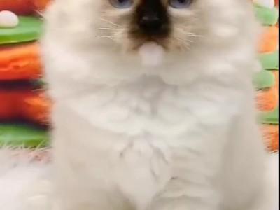 山西闻喜布偶猫,银渐层