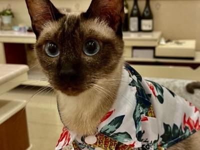 暹罗猫,从猫贩子手上救回来的
