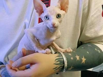 西安市斯芬克斯猫,三个月,活泼好动
