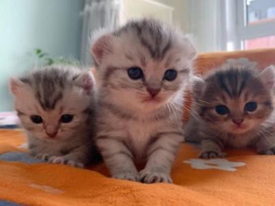 山东 虎斑卷耳猫 自家生的身体健康,找新家咯