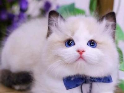 上海猫舍出售布偶蓝猫,精品布偶,可上门看猫咪
