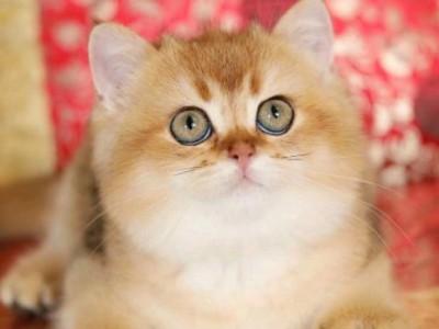 金渐层猫咪,现在特价,全国出售 可当面看