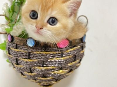 自家饲养 只有一只金渐层母猫 宝贝都精心照顾巨肥