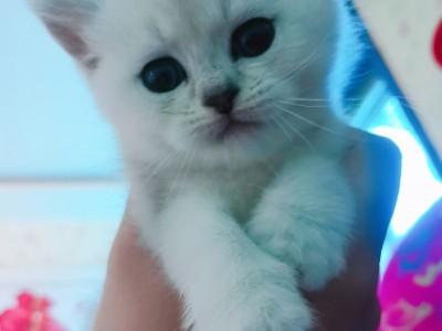2个月银渐层弟弟,无病无癣很健康,会用猫砂,能吃猫粮。