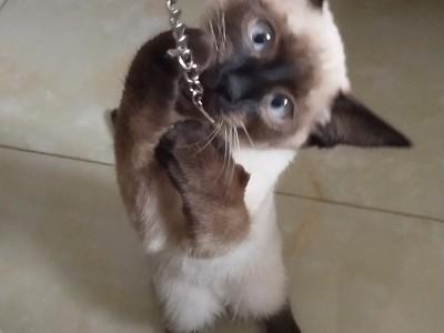长春市绿园区泰国暹罗猫