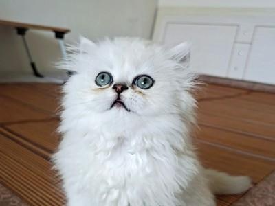 金吉拉小奶猫小公猫满2月位于银川